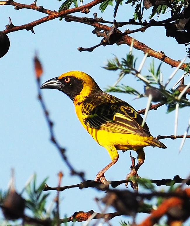 Fox's Weaver Uganda Endemic Bird